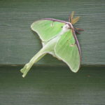 Large green moth with purple along front of wings and hairy antennae